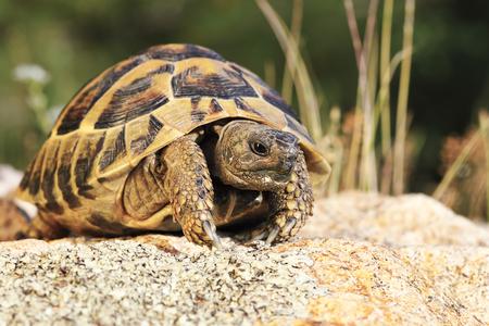 Photo pour common turtoise in natural habitat ( Testudo graeca ) - image libre de droit