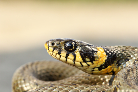 Photo pour yellow spots on grass snake head ( Natrix natrix ) - image libre de droit