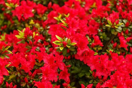 Photo pour Floral background of azalea (rhododendron), selective focus. - image libre de droit