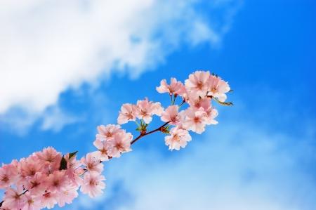 Foto de Blooming cherry tree branch against a cloudy blue sky - Imagen libre de derechos