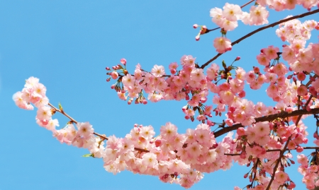 Photo for Blooming cherry tree branches against a clear blue sky - Royalty Free Image