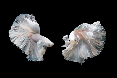Photo pour Betta fish,Siamese fighting fish in movement isolated on black background - image libre de droit