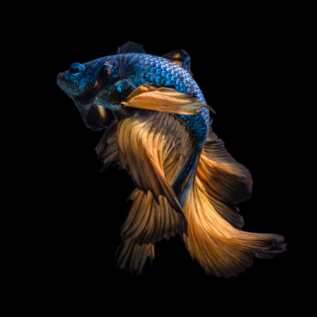 Photo pour Colourful Betta fish,Siamese fighting fish in movement isolated on black background. - image libre de droit