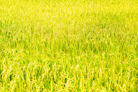 Photo pour Golden Rice field in local area of Thailand on sunny day - image libre de droit
