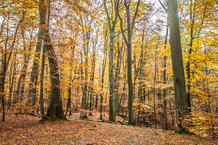 Photo for Beech forest in autumn - Royalty Free Image
