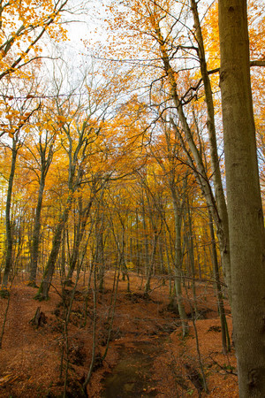 Photo for A stream in a beech forest in autumn - Royalty Free Image