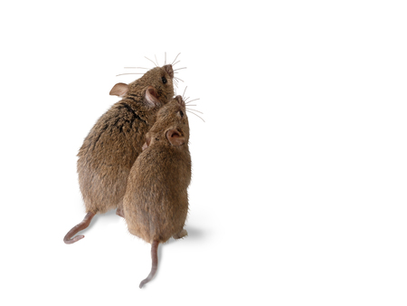Foto de closeup two vole mouse stands and looks up. view on back side.  isolated on white - Imagen libre de derechos