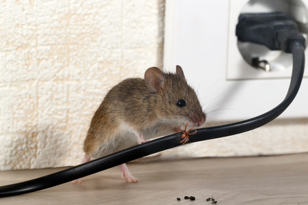 Foto de Closeup of a mouse gnaws wire in an apartment house on the background of the wall and an electric outlet. Inside high-rise buildings. Fight with mice in the apartment. Extermination. Small DOF focus put only to wire. - Imagen libre de derechos