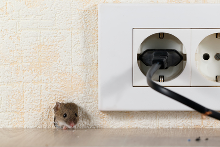 Photo for closeup mouse (Mus musculus) peeps out of a hole in the wall with electric outlet. Mice control concept. Extermination. - Royalty Free Image
