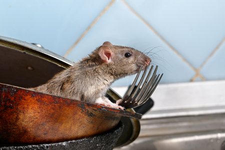 Photo pour Close-up young rat (Rattus norvegicus) looks out of the dirty pan with forks on background of blue tile in kitchen. Concept of rodent control. - image libre de droit