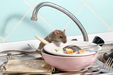 Photo for Young rat (Rattus norvegicus) climbs into the dish on the sink at the kitchen. Fight with rodents in the apartment. Extermination. - Royalty Free Image