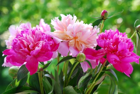 Photo for bunch of beautiful pink  peony against green  garden background - Royalty Free Image