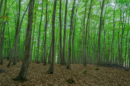 Photo for Spring beech forest - Royalty Free Image