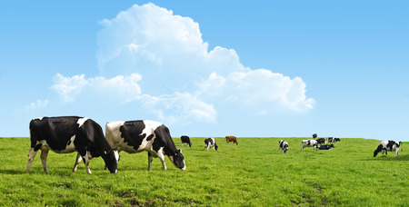 Photo pour Cows grazing on a farm. - image libre de droit