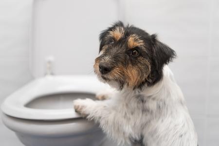 Foto de Dog on the toilet - Jack Russell Terrier - Imagen libre de derechos