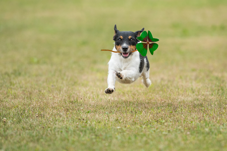 Foto de Dog is running across a green meadow with a four-leaf clover in his mouth - Jack Russell Terrier - Imagen libre de derechos