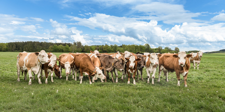 Photo for Herd of cows on a green pasture / meadow - Royalty Free Image