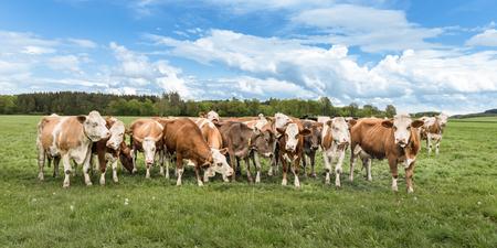 Photo pour Herd of cows on a green pasture / meadow - image libre de droit