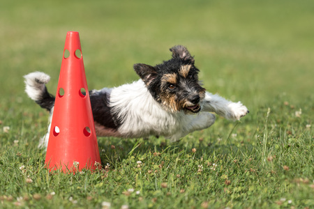 Photo pour Small dog circulatory on a cone - Cute Jack Russell Terrier doggy obedient while doing sports - image libre de droit