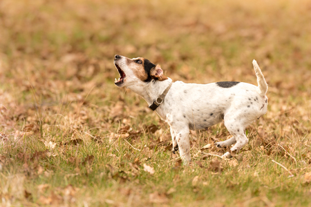 Photo pour small dog is barking - Jack Russell Terrier - image libre de droit