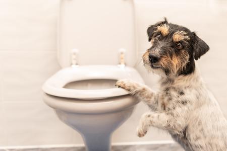 Photo pour Dog on the toilet - Jack Russell Terrier - image libre de droit