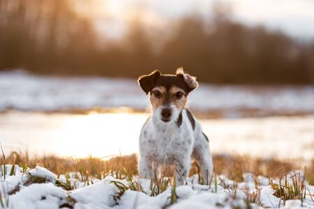 Photo pour Proud small dog is standing in a snowy winter landscape  in the evening light. Cute Jack Russell Terrier hound, 8 years old, hair type broken - image libre de droit
