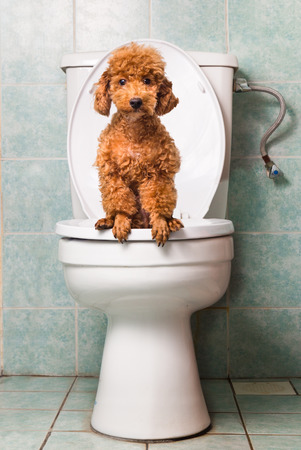 Foto de Smart brown poodle dog pooping into toilet bowl - Imagen libre de derechos