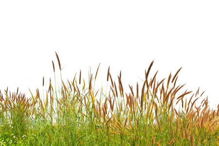 Photo for grass isolated on white background - Royalty Free Image