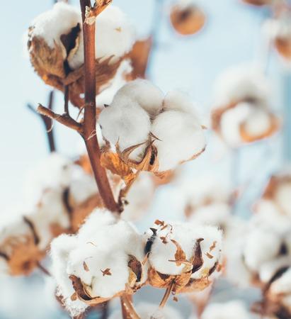 Foto de Cotton crop landscape with copy space area. - Imagen libre de derechos