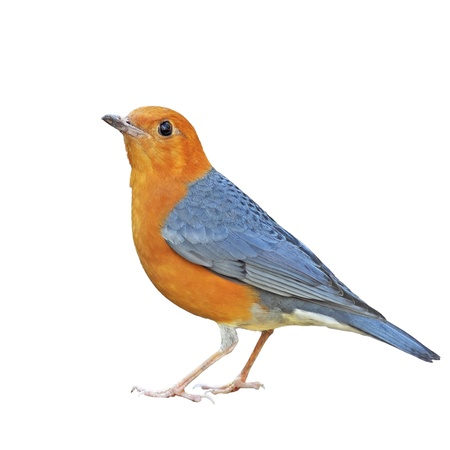 Photo pour Orange-headed Thrush on a white background - image libre de droit