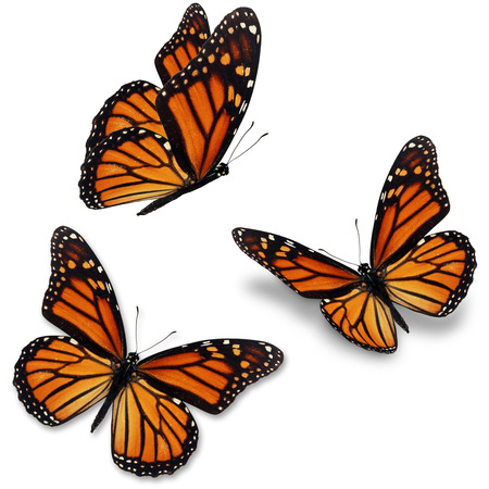 Photo pour Three monarch butterfly, isolated on white background - image libre de droit