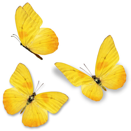 Photo pour Three yellow butterfly, isolated on white background - image libre de droit