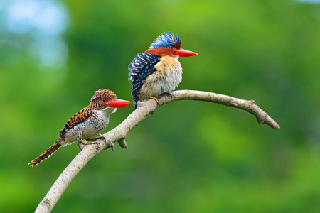 Photo pour Beautiful couple of Banded Kingfisher birds perching on the branch, bird of Thailand - image libre de droit