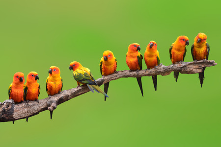 Photo pour Nine of Sun Conure Parrot bird perching on a branch on green background - image libre de droit