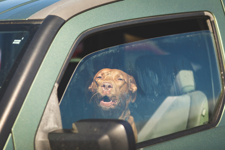 Photo for Brown pet dog sitting inside a vehicle gazing out of a window. - Royalty Free Image