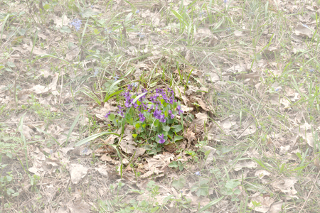 Photo for clump of viola plant among withered oak leaves. Purples wild flowers of the forest. clouded background - Royalty Free Image