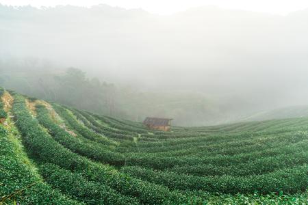 Foto de Tea plantation field on mountain hill in morning with fog, Agricultural industry - Imagen libre de derechos