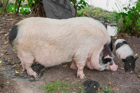 Foto de Pig and Piglet for food - Imagen libre de derechos
