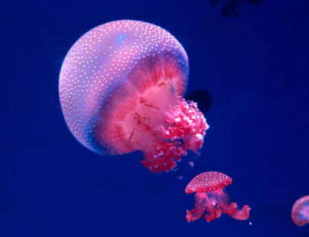 Photo pour white-spottd jellyfish,Australian spotted jellyfish in glass cabinet. - image libre de droit