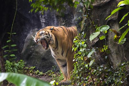 Photo pour Bengal Tiger sleeps clean - image libre de droit
