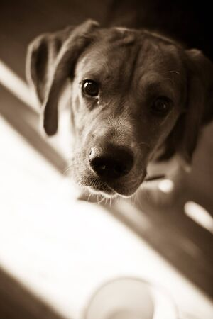 A young beagle dog eagerly awaits his food while standing over his dish - shallow depth of field.