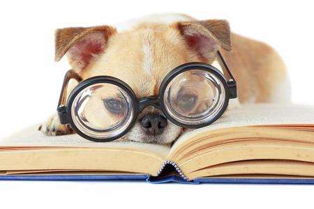 Photo pour Chihuahua dog wear nerd glasses for read book. - image libre de droit