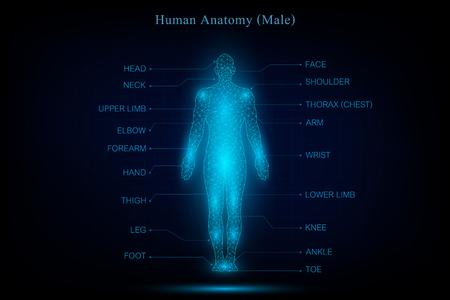 Ilustración de human body anatomy glowing blue in the dark background as medical, science and technology concept. vector illustration. - Imagen libre de derechos