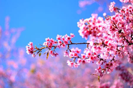 Photo for Beautiful cherry blossom in the northern of Thailand - Royalty Free Image