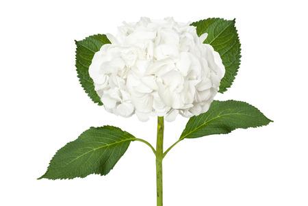 Photo for Wonderful white hydrangea isolated on a white background - Royalty Free Image