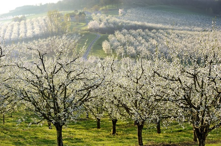an orchard of plum blossom, in french countryside