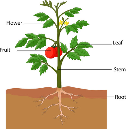 Illustration for Showing the parts of a tomato plant cartoon - Royalty Free Image