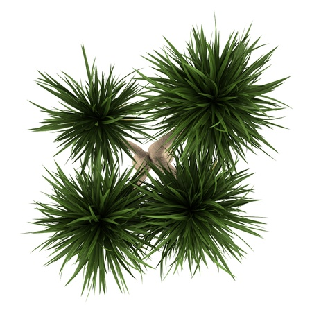 Photo pour top view of yucca palm tree isolated on white background - image libre de droit