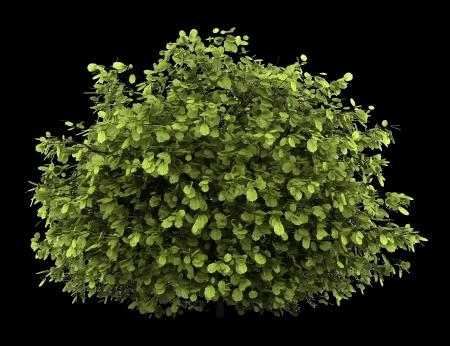 Foto de common hazel bush isolated on black background - Imagen libre de derechos