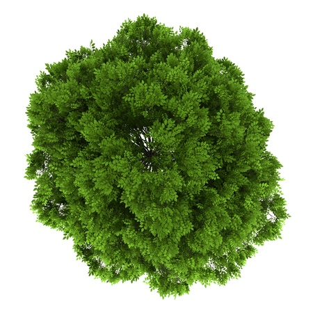 Photo for top view of european ash tree isolated on white background - Royalty Free Image